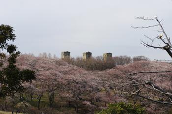 根岸の桜2012.jpg